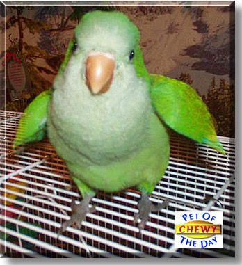 2 month old baby Quaker Parrot