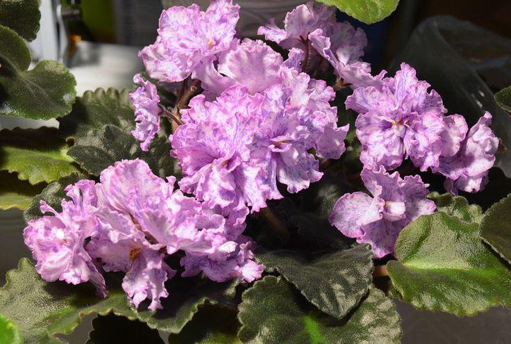 mas glass slipper african violet | ЕК-Симпатичная Девчонка.jpg