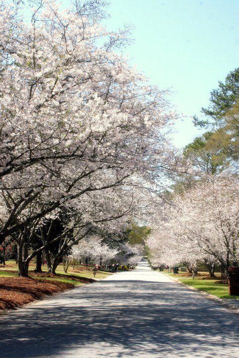12) The Cherry Blossoms in Macon, GA.