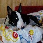 CANI DI RAZZA, CANI TAGLIA MEDIA, CUCCIOLI: bull terrier maschio 10 mesi