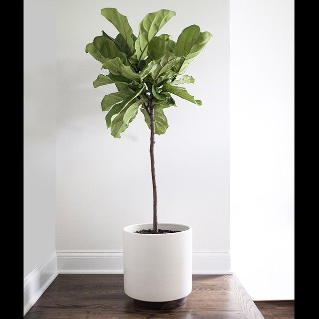 Fiddle leaf fig ❤ Image via Pinterest roomfortuesday.com . Ooh...and I've just found a local Fiddle Leaf supplier @littlefigco  #fiddleleaffig #whiteplanter #simplicity #minimalism #interiordesign #interiorstyling