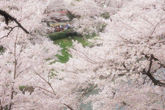 千鳥ヶ淵 TOKYO   東京都千代田区の皇居の北西側にある千鳥ヶ淵は、春になると一斉に桜が咲き乱れ、お堀と公園内の豊かな自然にマッチすることもあり人気の桜スポットになっています。