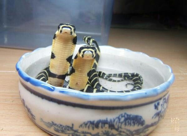 Baby King Cobras in a Teacup. Because Reasons.