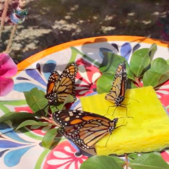 Step-by-step instructions for making two simple butterfly feeders. Includes instructions for making nectar.                                                                                                                                                                                 More