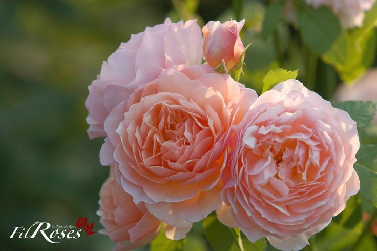 Rosier Grace :Très sain, il peut se passer de traitement mais comme pour tous les rosiers nous conseillons au minimum une pulvérisation foliaire de bouille bordelaise l'hiver et une autre de purin « spécial Rosiers » en saison.