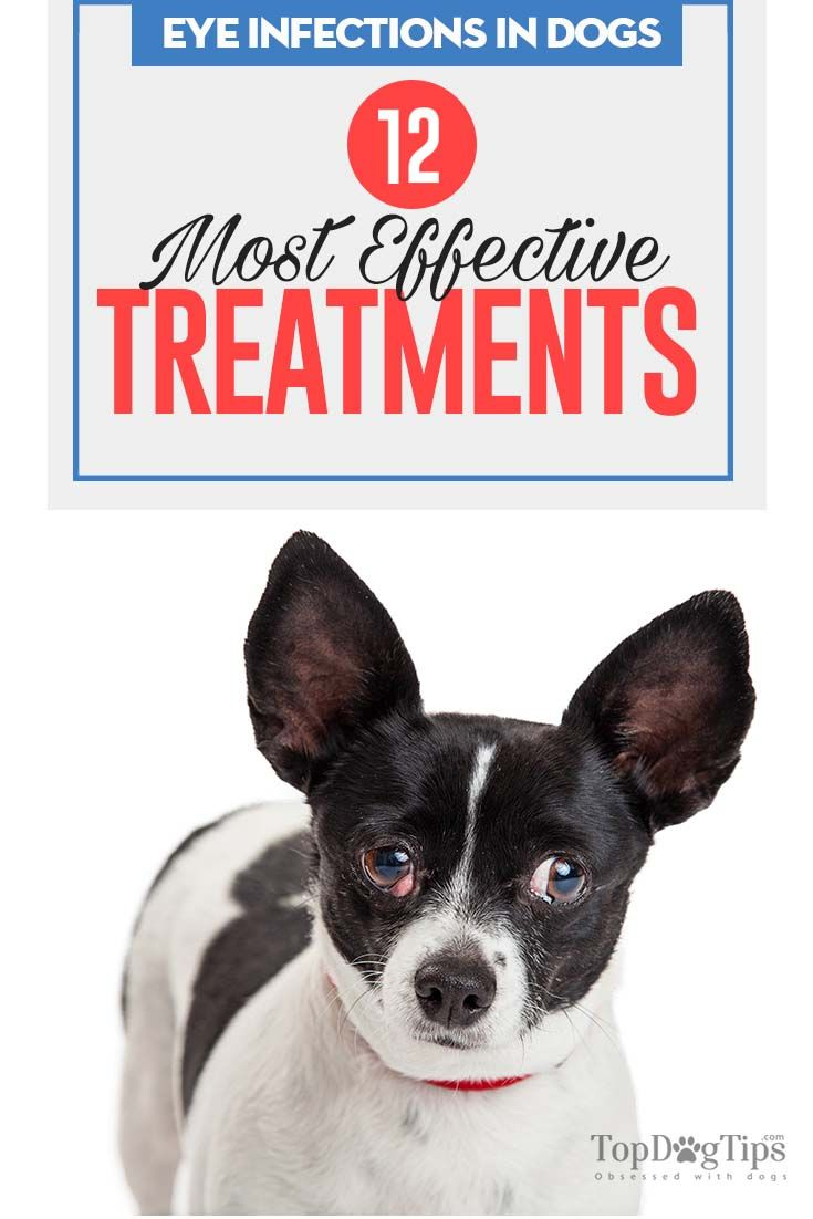 A Guide To Eye Infections In Dogs Based On Studies Eye