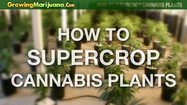 How to Supercrop Cannabis Plants – Growing Weed