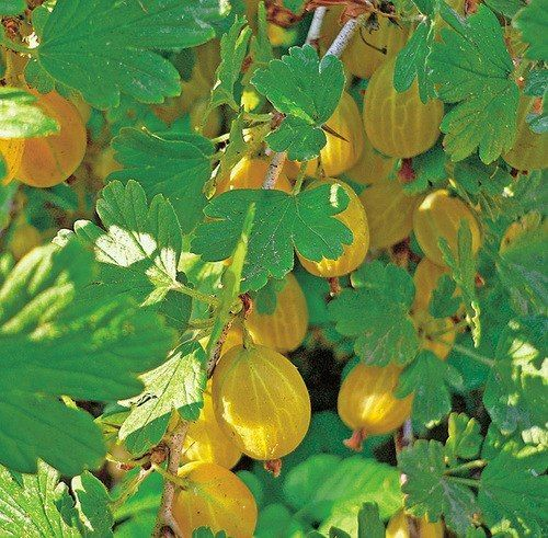 КАК СОБРАТЬ 10–15 КГ КРЫЖОВНИКА С ОДНОГО КУСТАКрыжовник отличается высокой урожайностью. При благоприятных условиях и правильном уходе с одного куста можно собирать по 10–15 кг ягод.Каждый год из появ…