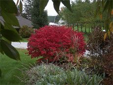It's big, it's red...did I mention it was big?! How and when to prune the burning bush back down to size.