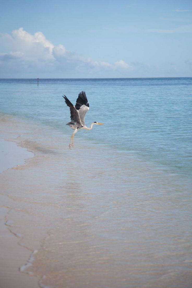 Filitheyo Island, Maldives, paradise on earth, travel, vacation, beautiful place, wanderlust, tropic, reiger, bird