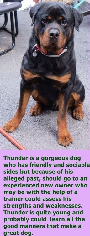 Manhattan Center THUNDER – A1064389 MALE, BLACK / RED, ROTTWEILER MIX, 1 yr, 3 mos STRAY – EVALUATE, HOLD RELEASED Reason PETS CONFL Intake condition EXAM REQ Intake Date 02/04/2016, http://nycdogs.urgentpodr.org/thunder-a1064389/