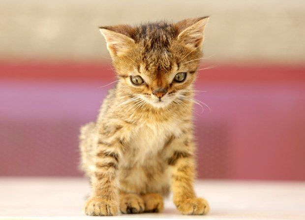 Turkey mourns for Otto, the kitten diagnosed with Down's syndrome - ANIMALS