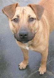 Meg is an adoptable Shar Pei Dog in Century City, CA. Anyone looking for a medium sized dog., with the temperament of a wee one, look no further...this is your girl. Even tempered, playful, house frie...