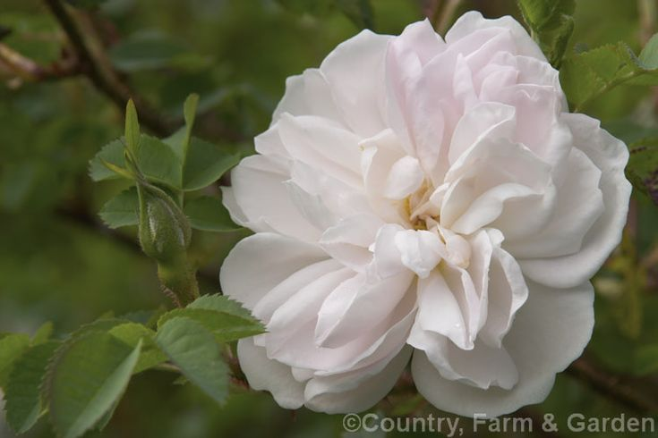 Rosa 'Stanwell Perpetual' (Rosa × damascena × Rosa pimpinellifolia), a hybrid Scotch or Briar Shrub Rose raised by Lee of England in 1838.