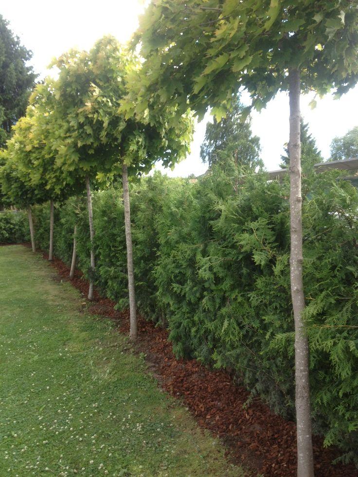 Thujor.se - Brabant 200+ cm - Färdigplanterad