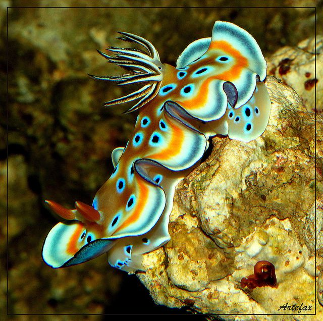 Sea Slug (chromodoris kuniei - nudibranch) ~ By Artefax Jericho
