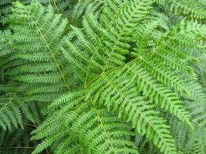 Consigli su come coltivare e prendersi cura della pianta Felce - La felce dalla foglia arricciata è una delle varietà più coltivate. Le sue fronde arrivano a misurare un metro e si arcuano crescendo, mantenendo una forma
