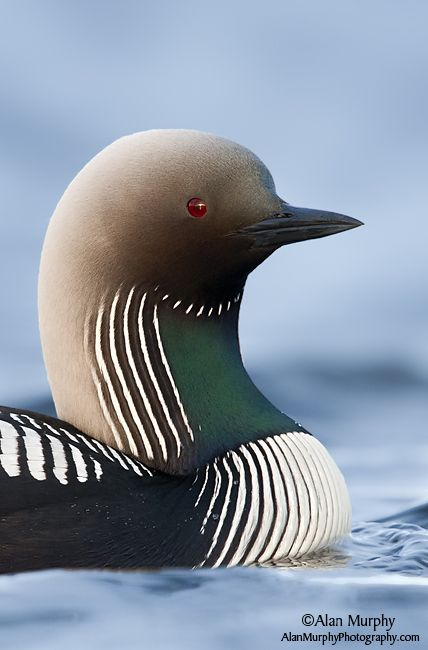 Gavia arctica / Colimbo Artico/ Black-throated Diver / Plongeon arctique/Prachttaucher