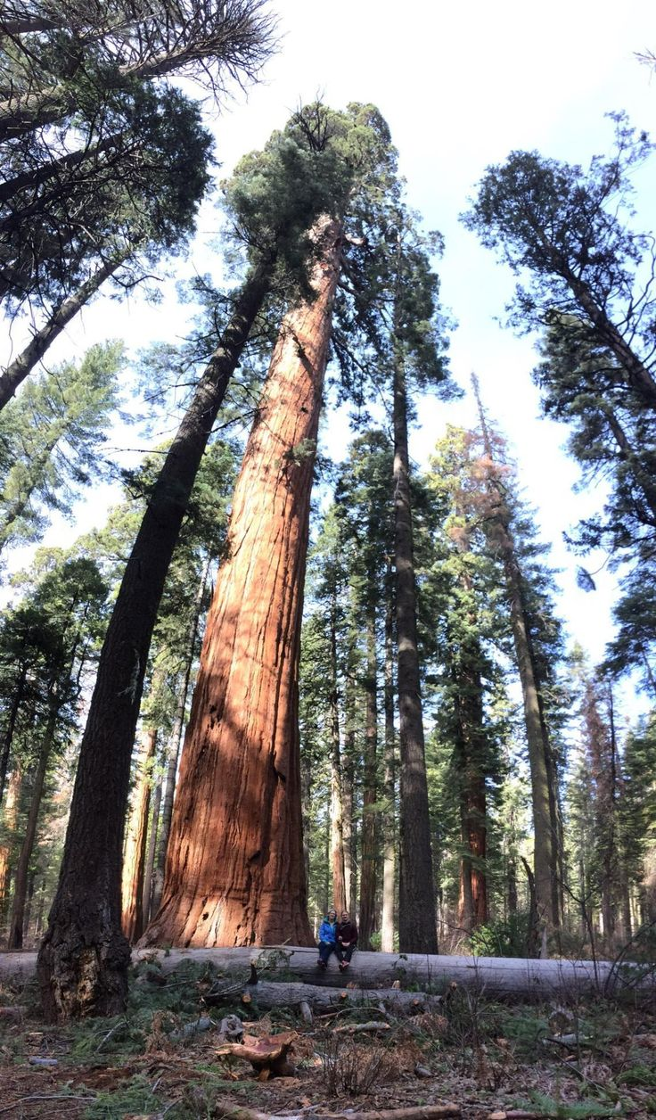 Hiked this Christmas in California's Big Tree State Park home to the world's most massive single living organism in the entire world. The Giant Sequoia (Sequoiadendron Giganteum) #hiking #camping #outdoors #nature #travel #backpacking #adventure #marmot #outdoor #mountains #photography