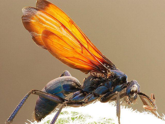 tarantula hawk Guêpe pepsis (« tarantula hawk ») Source : notre-planete.info, http://www.notre-planete.info/actualites/3902-douleur-piqure-guepe-fourmi-abeille