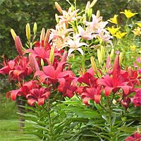 LILY Full sun to light shade, well-drained soil. Plant bulbs in SPRING or FALL. // Plant Care Guides :: National Gardening Association