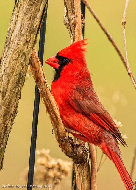 Male Cardinal.. my inspiration.. ive noticed the same cardinal for the past three years consistently.. one of my guardians