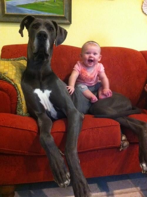 Great Dane... . Now that is a Giant dog and little baby.