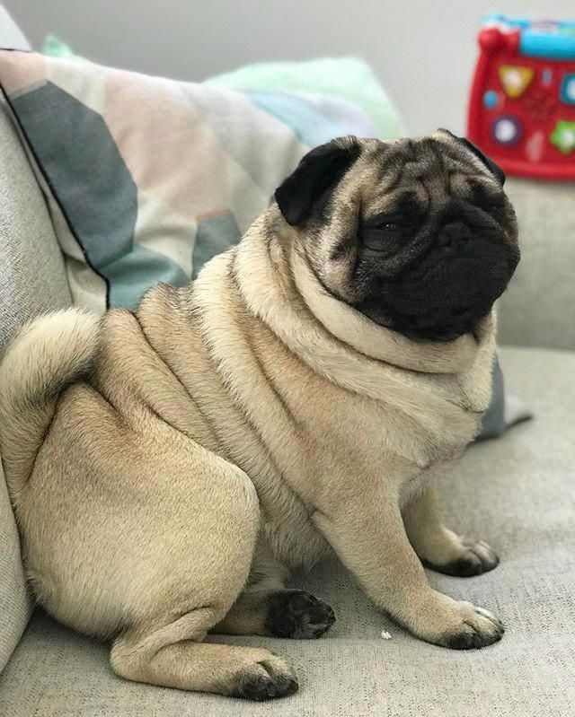 Cute Pet Animals Images Free Download Pugs Cute Pugs Puppies