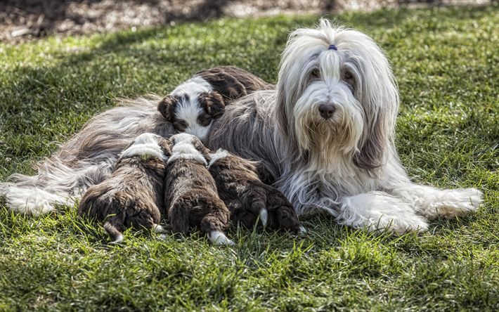 Bearded Collie, puppies, fluffy dogs, pets, grass, dogs, family