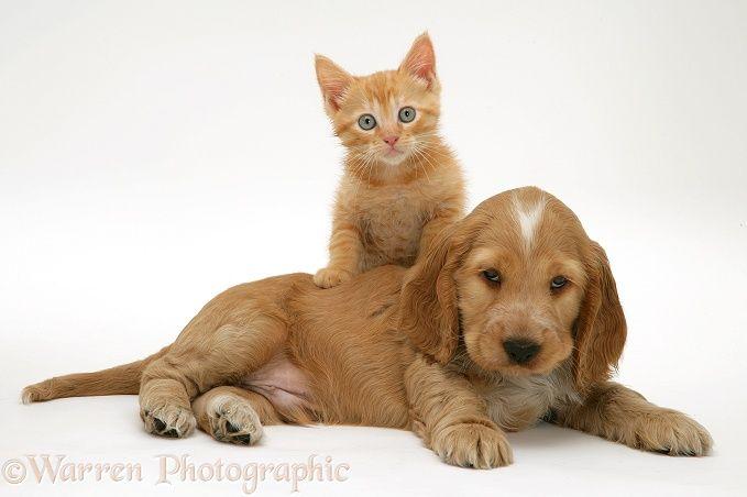 Pets: Golden Cocker Spaniel puppy and ginger kitten.