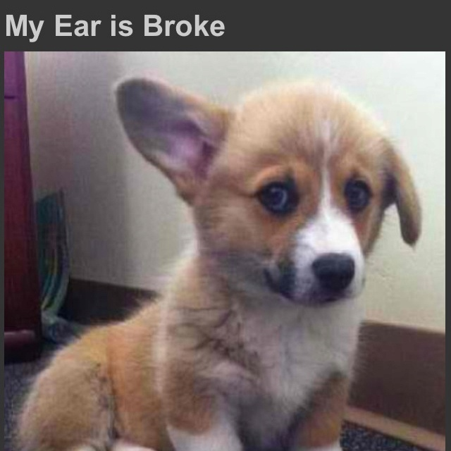 : Little Puppies, Baby Corgi, Small Dogs, Pet, Corgi Puppies, Puppys, Ears, Baby Animal, Adorable