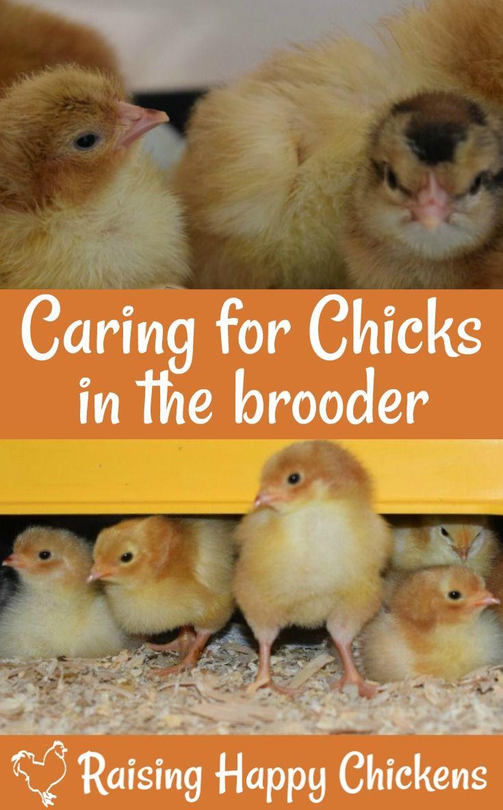 141 best backyard chickens 101 images on pinterest backyard