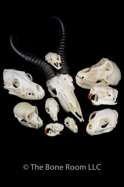 The Bone Room carries real animal skulls, coyote skull, dog skull, cat skull, bird skull, fox skull, animal skull, raccoon skull, bat skull, monkey skull, springbok skull, vervet skull, bobcat skull, mammal skull, rat skull, beaver skull, badger skull, opossum skull, skunk skull for sale