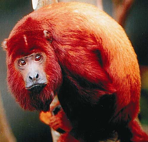 Red Howler monkey - Unlike other New World monkeys, both male and female howler monkeys have trichromatic color vision. This has evolved independently from other New World monkeys due to gene duplication. They have lifespans of 15 to 20 years.