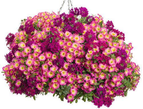 Heart to Heart   Proven Winners-2 of each Supertunia® Daybreak Charm Petunia and Superbena® Royale Plum Wine Verbena
