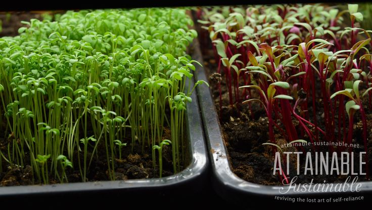 125 best images about wheatgrass sprouts and microgreens for Best growing medium for microgreens
