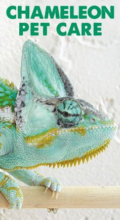 Read husbandry recommendations for Veiled Chameleons written and reviewed by experienced veterinarians.  Click here: http://old.trustedpartner.com/docs/library/000087/ChameleonPetCare.pdf