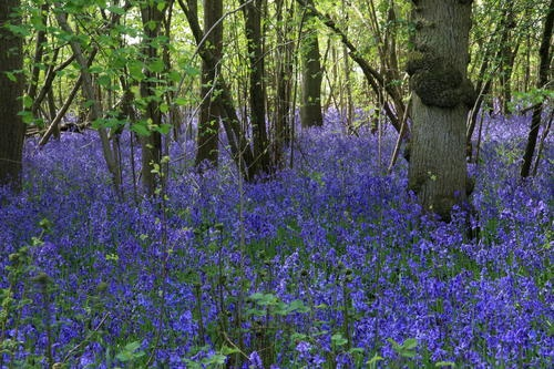 bluebell wood england | Panoramio - Photo of Wiltshire Bluebell woods