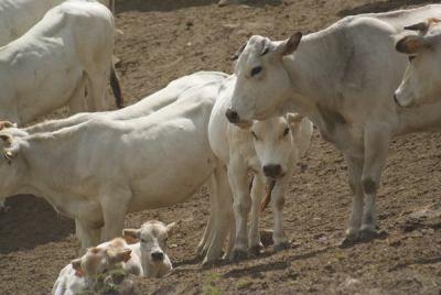 Se bevi il latte uccidi i vitellini