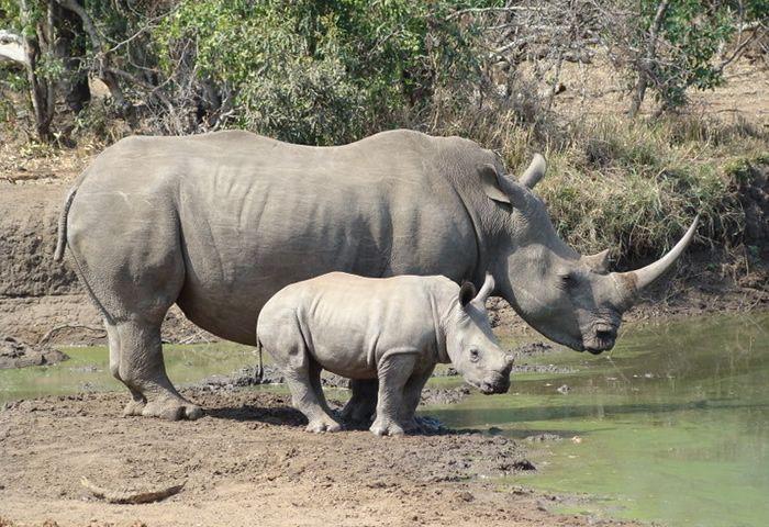 Enciclopedia animal | Animales de la sabana - Rinoceronte blanco