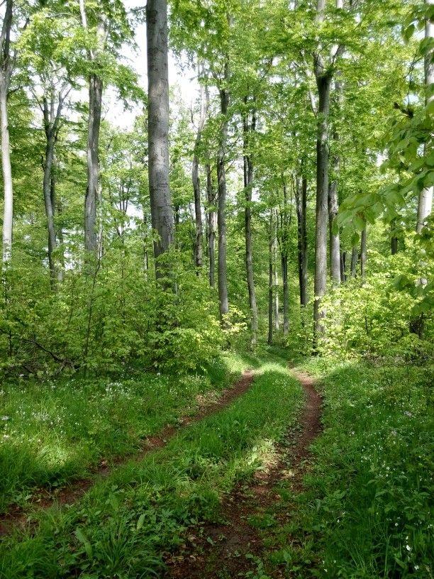 Beech forest. Pilis, Hungary.