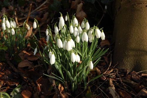 First snow drops of spring Aylsham, Norfolk