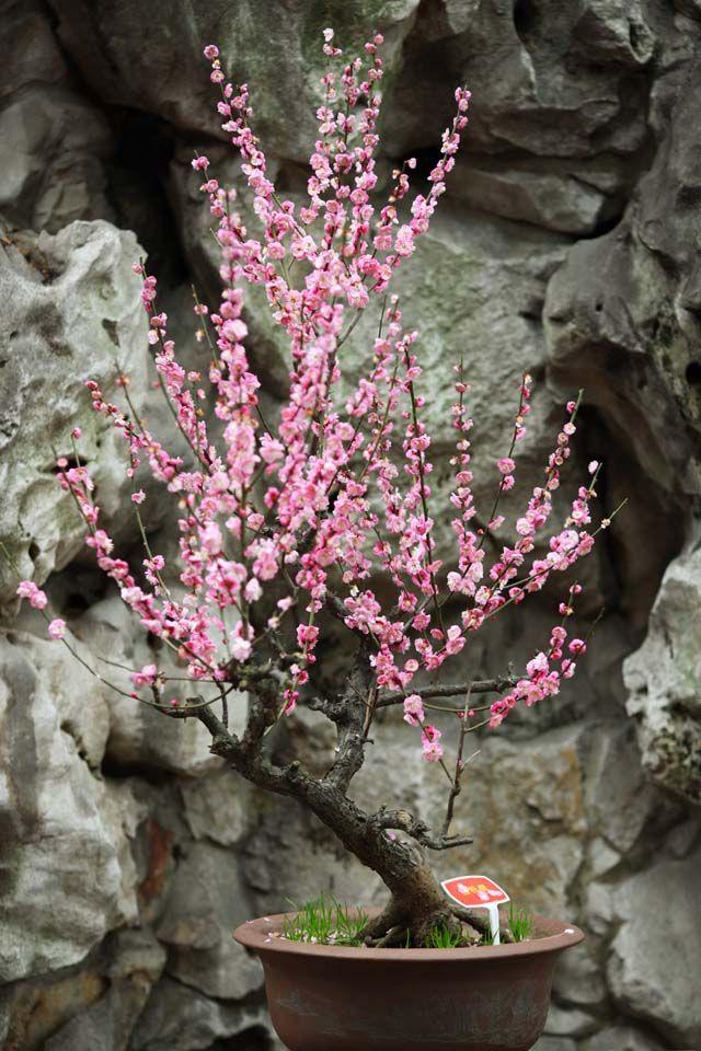 RK:豫園 梅の花 上海の有名な観光スポット「豫園」の梅の盆栽です。豫園は西暦1577年に四川布政使の役人であった潘允端が、父の潘恩のために18年かけて造営し、贈った庭園です