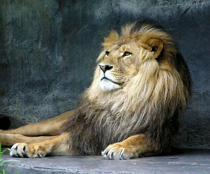 552 best So Lion...One images on Pinterest | Big cats, Lion and Wild ...