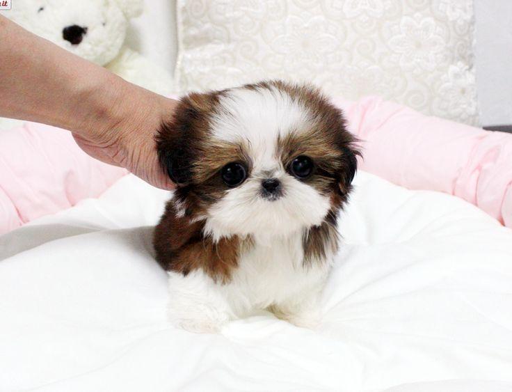 Oh My Goodness Teacup Shihtzu Shihtzu Shitzu Puppies Cute