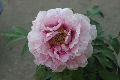 BUJORI : Paeonia suffruticosa - Bujor arbustiv - soi Lavender STOC EPUIZAT