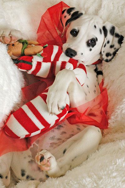Cutest Puppy Pictures - Christmas Pet Outfits - Marie Claire
