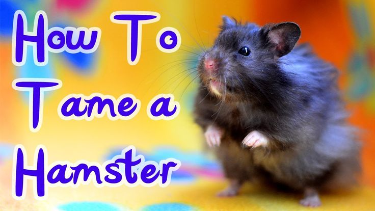 HOW TO: TAME A HAMSTER. Excellent suggestions.  Also see HamsterNinja videos on youtube. Also, Erin's Taming step-by-step guide on her website. K