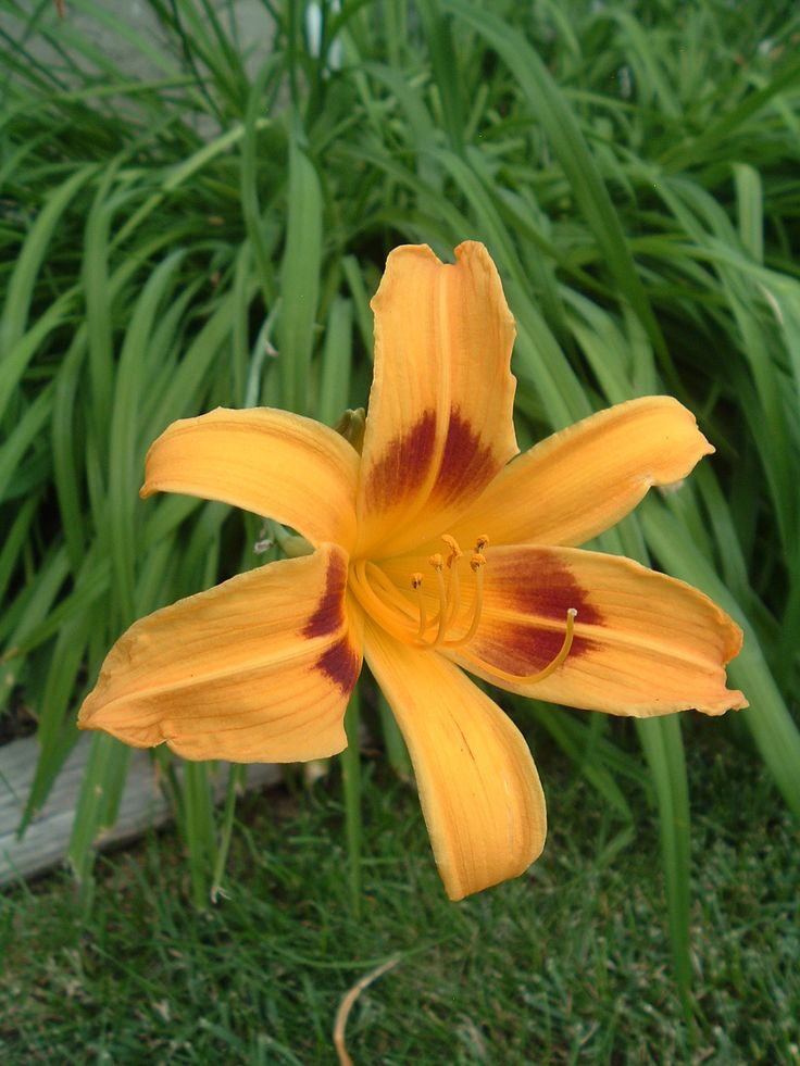 Another daylily