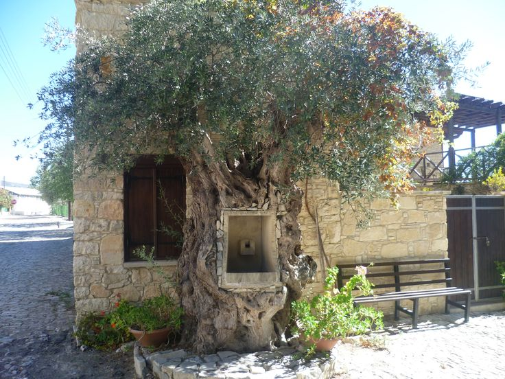 Laurania spring set into an ancient olive tree trunk.